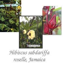 hibiscus_sabdariffa