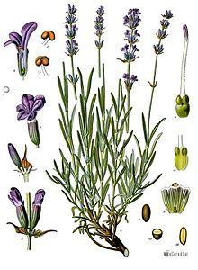 lavandula_angustifolia