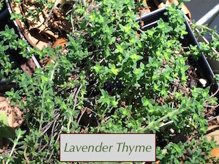 Lavender Thyme has a big flavor in a small package!