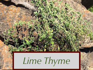 Lime Thyme adds a mild savory, citrusy flavor to tea