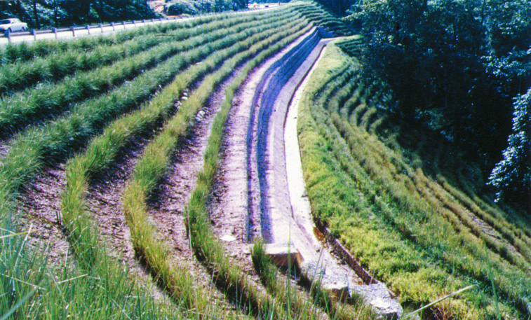 Vetiver rows on hillside