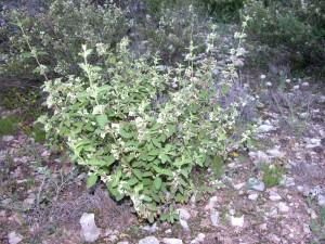 Lippia graveolens, Mexican Oregano