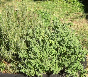Rosemary and Oregano Plants