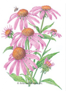 Echinacea or Cone Flower
