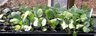 caul_seedlings
