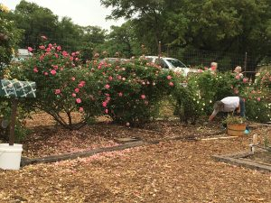 Comal MG Rose Bed