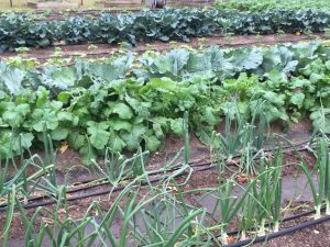 Comal MG Vegetable Garden