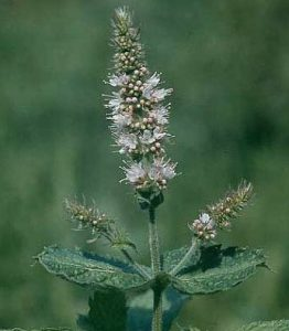 Mint Flower- don't be afraid to let your mints flower. The flowers bring beneficial insects to your garden. Use the flowers in teas and drinks, too!