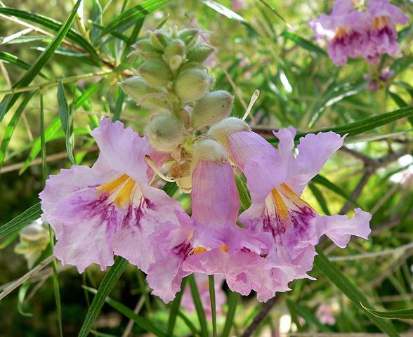 Desert Willow Flower