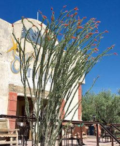 Ocotillo at the Terlingua Trading Company outside the Park.