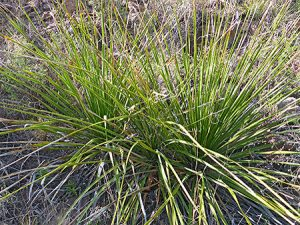 Sotol: This plant was everywhere!