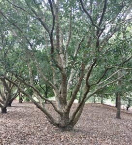 Mexican Oak