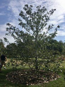Mexican Magnolia